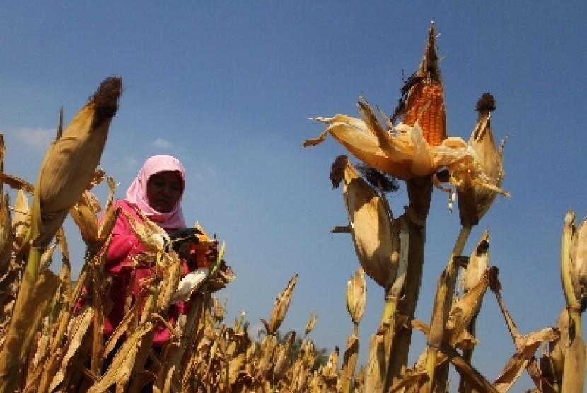 Kementan: Indonesia di Peringkat Tujuh Dunia Produsen Jagung