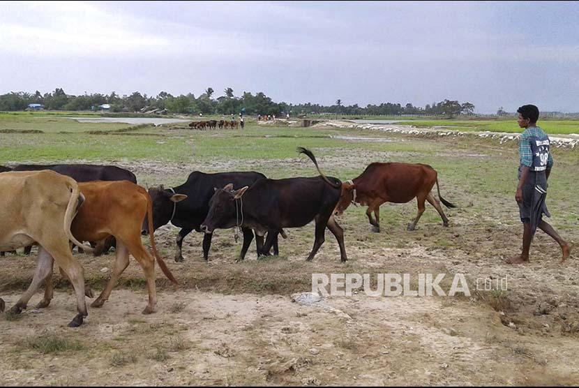 Myanmar Panen Padi di Sawah yang Ditinggalkan Warga Rohingya