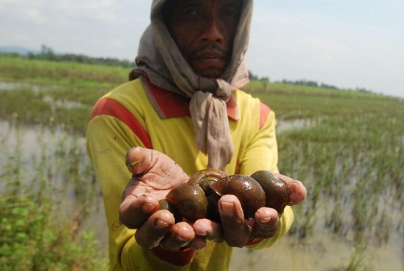 Seorang warga menunjukkan keong emas yang menjadi hama padi di Desa, Ngadudero, Sukolilo, pati, Jateng, Rabu (1/2). Warga memanfaatkan hama keong untuk lauk pauk yang dijual dengan harga Rp 4 ribu per kilogram.