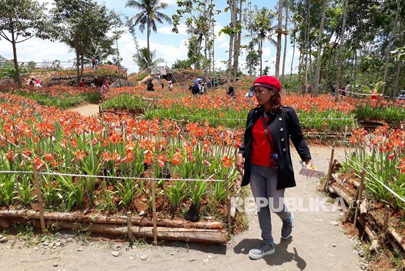 Taman Bunga Amarilis di Gunungkidul Kembali Bersemi