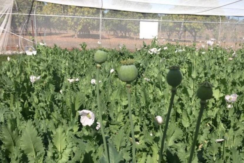 Tanaman opium ditanam di kebun percobaan di dekat Katherine di Northern Territory.