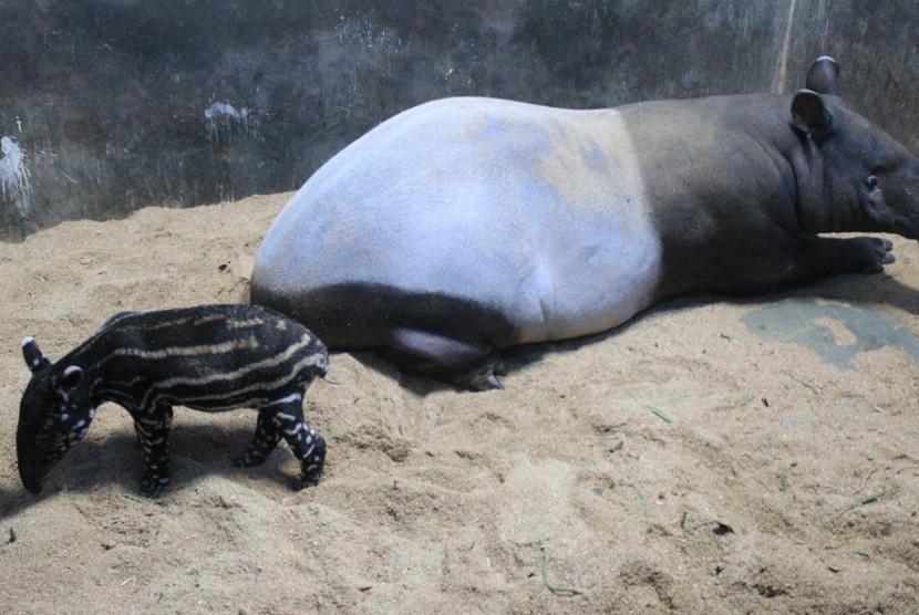 Tari dan bayinya yang baru ia lahirkan di Taman Safari Indonesia.