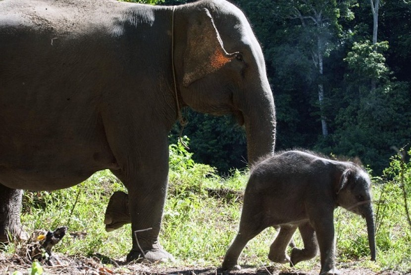 An adult elephant walks with its baby. (Illustration)