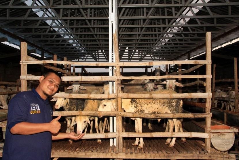 Tim kontrol kualitas Tebar Hewan Kurban (THK) Dompet Dhuafa mengecek kelayakan hewan kurban.