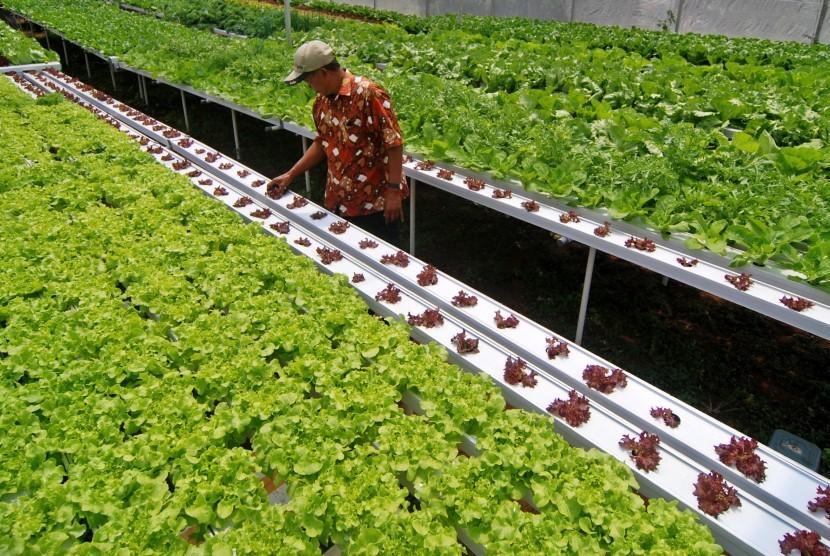 Warga bercocok tanam sayuran selada dengan menggunakan sistem hidroponik (Ilustrasi)