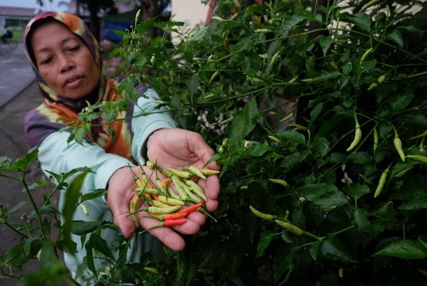 Warga menunjukkan cabai rawit yang ditanam di pekarangan rumahnya di Desa Tanjung Gusta, Sunggal, Deli Serdang, Sumatera Utara, Rabu (25/1).