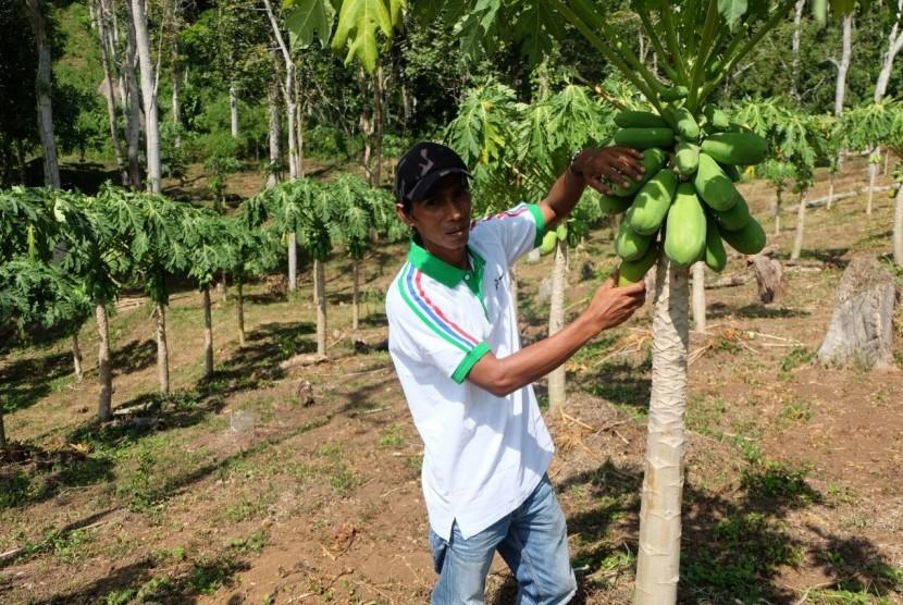 Warga tepian Danau Singkarak, Solok, Sumatra Barat, menunjukkan buah pepaya. Perkebunan masih menjadi komoditas Sumatra Barat. (Ilustrasi)
