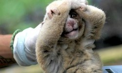 Petugas dari Yayasan Inisiasi Alam Rehabilitasi Indonesia dan  International Animal Rescue (IAR) memeriksa kukang Jawa (Nycticebus javanicus) yang akan dipindahkan ke kandang habituasi di Kawasan Taman Nasional Gunung Ciremai, Kuningan, Jawa Barat
