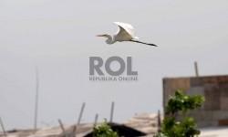 Burung Kuntul Besar (Egretta alba)