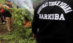 Dirtipidnarkoba Bareskrim Polri Brigjen Eko Daniyanto (kiri) membakar pohon ganja yang ditemukan didaerah pengunungan untuk dimusnahkan Desa Meusale, Kecamatan Indrapuri, Aceh Besar, Aceh, dua pekan lalu.