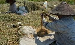 Dua petani mengumpulkan gabah sisa panen padi atau ngasak di lahan persawahan.