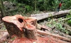 Hutan Indonesia kian terdagradasi akibat penebangan liar.