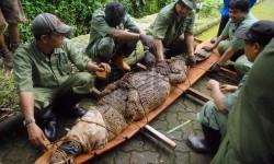 Petugas satwa merelokasi buaya muara (ilustrasi).   (Republika/Rakhmawaty La'lang)