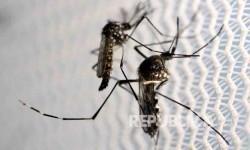 Nyamuk Aedes aegypti penyebab visrus zika.