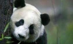 panda (ilustrasi)