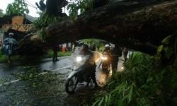 Pengendara menerobos pohon yang tumbang (ilustrasi)