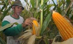 Petani memanen jagung di Kendal, Jawa Tengah, Jumat (14/10).