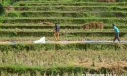 Petani menjemur gabah di daearah Cipatujah, Kabupaten Tasikmalaya, Jawa Barat. (Republika/Edi Yusuf)