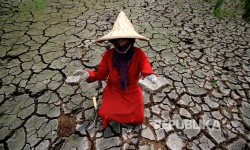 Farmer shows her paddy fields suffered from drought. (Illustration)