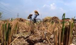 [ilustrasi] Petani sedang mengumpulkan padi yang mengalami kekeringan.