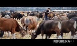 Peternak menyiapkan makanan untuk sapi ternak di Makassar, Sulawesi Selatan, Sabtu (12/8). Menjelang Hari Raya Iduladha 1438 H penjual hewan kurban mulai menjamur di Makassar. Sapi-sapi kurban yang didatangkan dari luar Kota Makassar itu dijual Rp7 juta hingga Rp30 juta per ekor.