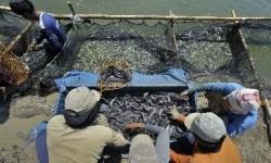 Peternakan ikan lele (Ilustrasi)