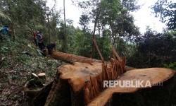 Petugas Balai Besar Taman Nasional Gunung Leuser (BBTNGL) Kementerian Kehutanan menemukan sebuah pohon besar yang ditebang pembalak liar (Ilegal logging) ketika melakukan patroli di kawasan Telaga Bekancan, Taman Nasional Gunung Leuser (TNGL), Kabupaten Langkat, Sumatera Utara, Senin (22/5).