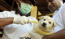 Petugas Dinas Peternakan memasangkan kalung penanda vaksin rabies pada seekor anjing saat Pencanangan Vaksin Rabies Tahap IV di Denpasar, Bali.
