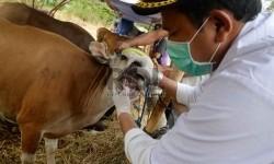Pemeriksaan kesehatan hewan kurban. (ilustrasi).