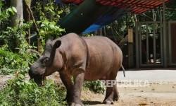 Seekor badak jantan bernama Harapan melintas di depan kandangnya di Suaka Rhino Sumatera (SRS) Taman Nasional Way Kambas (TNWK), Lampung Timur, Senin (20/3).