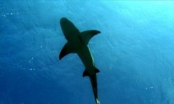 Seekor hiu berenang di lautan.