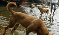 Populasi anjing liar yang terus bertambah dan kasus gigitan yang semakin mengkhawatirkan mendorong pemerintah Provinsi Bengkulu melakukan program eliminasi anjing liar. (Ilustrasi)