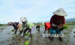 Sejumlah buruh petani tengah menanam benih padi disawahnya, Jalan Rancasagatan, Kecamatan Gedebage, Kota Bandung, Rabu (21/12).