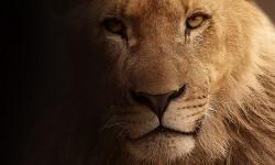 Singa. Ilustrasi.
