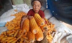 Warga menunjukkan jagung hasil panennya di Kawengen, Kabupaten Semarang, Jawa Tengah, Selasa (24/1).