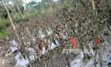 Pengungsi Pulang ke Rumah. Tanaman mati terkena abu vulkanis Gunung Agung di Desa Sebudi, Selat, Karangasem, Bali, Jumat (1/12).