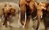 Gajah Afrika Selatan (ilustrasi)