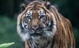 Harimau Sumatera bernama 'Tuan' lahir di Portugal tapi sudah tinggal di Kebun Binatang Adelaide selama 13 tahun.