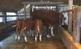 Kelahiran sapi kembar tiga.