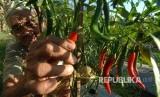Petani memanen cabai merah.
