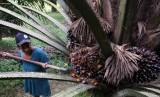 Petani memanen kelapa sawit dengan alat cungkil di Lambuya, Konawe, Sulawesi Tenggara, Minggu (22/10). Harga kelapa sawit turun dari Rp1.200 per kilogram menjadi Rp800 per kilogram, sejak banyaknya investor menanam kelapa sawit sehingga harga tidak pernah stabil.