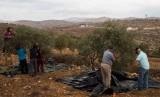 Petani Palestina memanen buah zaitun di ladang mereka.