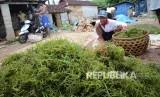 Petani rumpul laut di Lembongan, Bali. (Republika/Edi Yusuf).