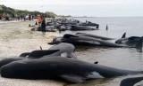 Ratusan ikan paus terdampar (ilustrasi)