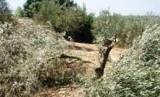 Ratusan pohon zaitun milik warga Palestian ditebang paksa oleh Israel untuk memperluas proyek permukiman Yahudi