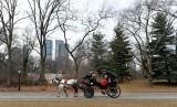 Seekor kuda menarik delman wisata melaju di Central Park, New York, AS.