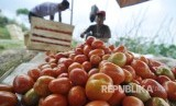 Seorang petani sayuran memilah tomat usai panen (ilustrasi)