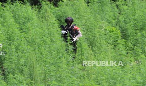 BNN Musnahkan Dua Hektare Ladang Ganja di Aceh thumbnail