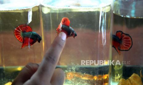 Manfaat Hobi Pelihara Ikan Hias Guppy Dan Cupang Republika Online