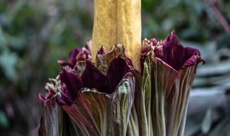Bunga Bangkai Raksasa Mekar di Area Napal Jungur Bengkulu thumbnail